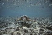 绿海龟,游泳