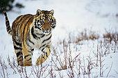 西伯利亚虎,走,雪中