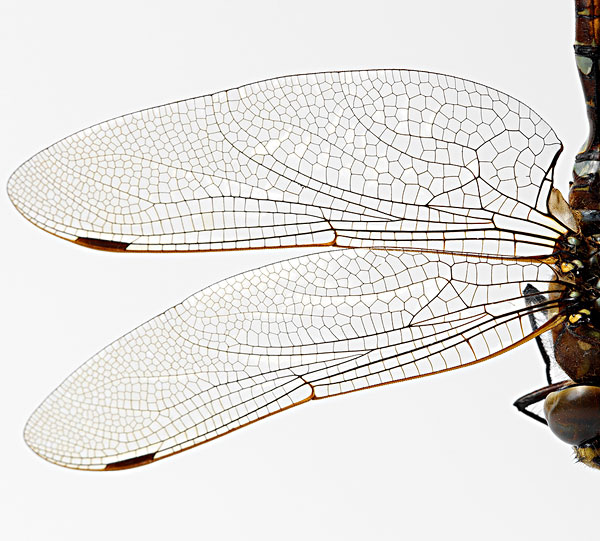 连体蜻蜓剪纸步骤