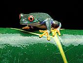 红眼树蛙,叶子