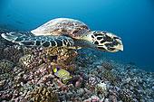玳瑁,游泳,珊瑚
