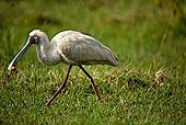 非洲,篦鹭,纳库鲁湖国家公园,肯尼亚