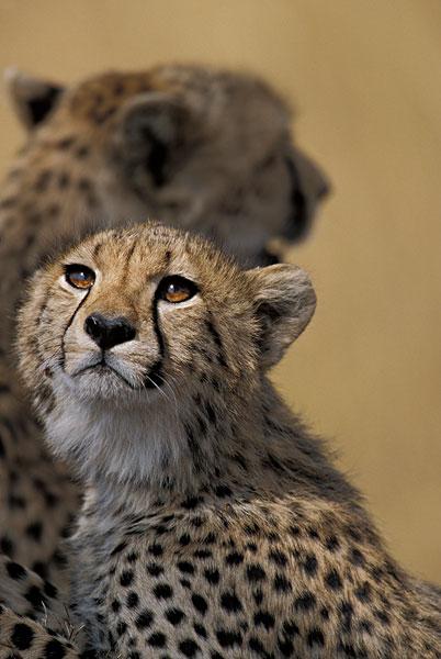 肯尼亚,马塞马拉野生动物保护区,年轻,小猎豹,猎豹,休息,热带草原