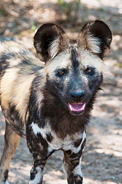野狗,非洲野犬属,俘获