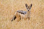 非洲 黑背 坦桑尼亚/非洲,坦桑尼亚,黑背狐...下载相似预览购买