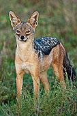 保护区/非洲,坦桑尼亚,黑背狐...下载相似预览购买