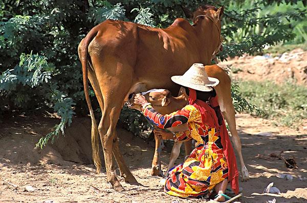 女人 挤奶 母牛