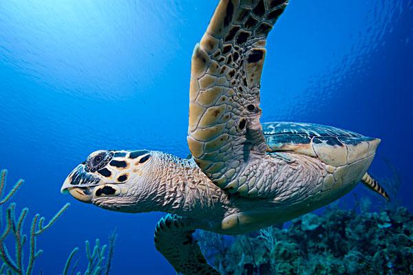 开曼群岛,小,鳄鱼,岛屿,水下视角,玳瑁,游泳,高处,珊瑚礁,靠近,血,湾图片