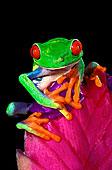 特写,俘获,红眼树蛙,凤梨科植物,花