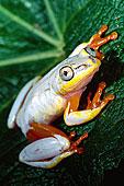 金属,芦苇,青蛙,马达加斯加