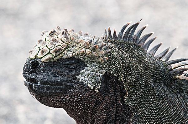图片标题:加拉帕戈斯群岛,厄瓜多尔,海鬣蜥,费尔南迪纳岛