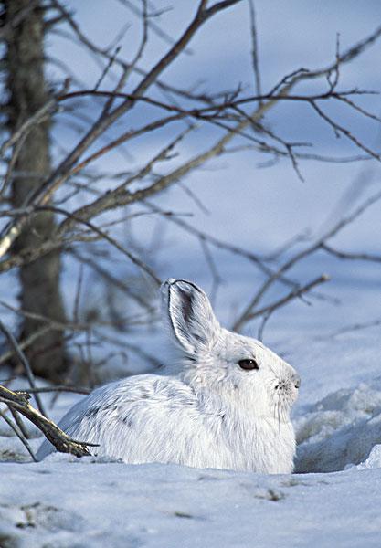 美国,阿拉斯加,北极国家野生动物保护区,雪兔