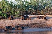 水豚,家族,休息,海滩,潘塔纳尔,巴西