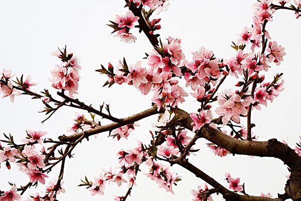 井盖设计手绘图 桃花