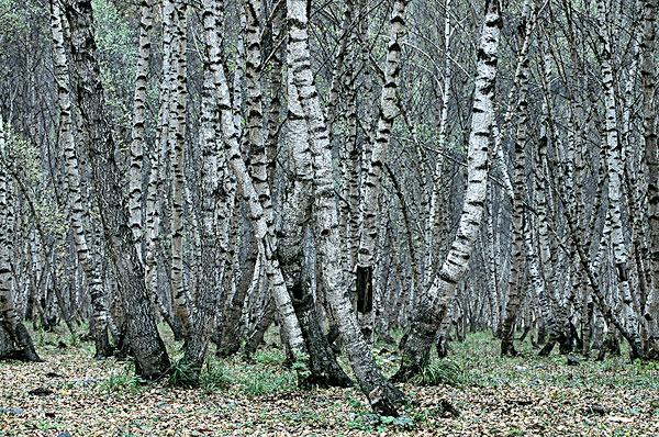 树 桦林 桦树 600_398