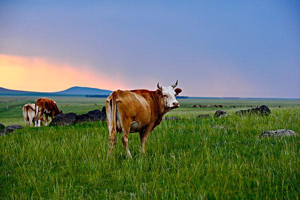 内蒙古草原上的牛