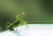 肉食性昆蟲螳螂