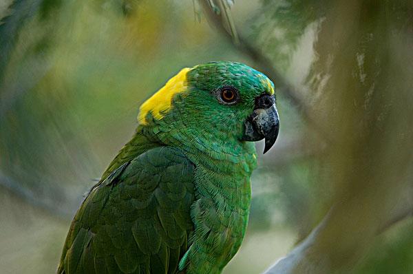 黄颈亚马逊鹦鹉,鹦鹉,动物园-全景图片-读图时代