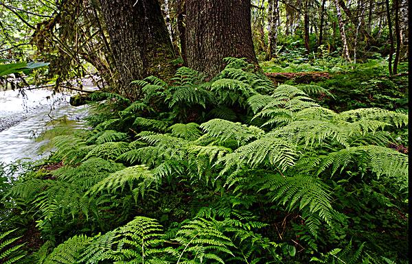 蕨类,通加斯国家森林-全景图片-读图时代