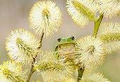 欧洲树蛙,无斑雨蛙,坐,细枝,特写