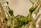 欧洲树蛙,无斑雨蛙,坐,林中地面