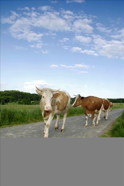 母牛,走,乡间小路