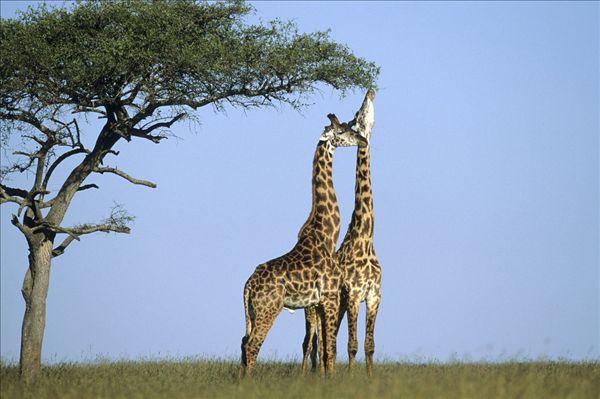 长颈鹿-长颈鹿图片下载-长颈鹿图片大全-全景图片网