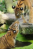 两个,西伯利亚虎