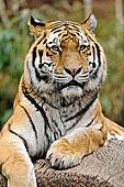 卧,西伯利亚虎,东北虎