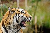 叫,西伯利亚虎,东北虎