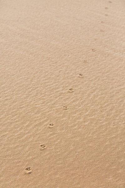 在沙漠的动物脚印