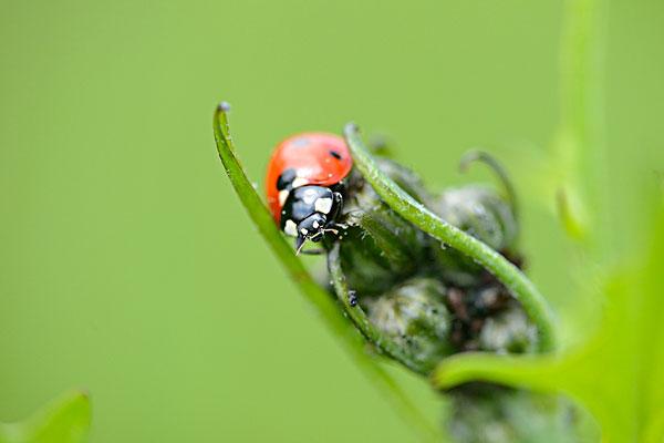 七星瓢虫图片图片-七星瓢虫图片图片下载-七星瓢虫