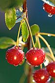 莫利洛黑樱桃