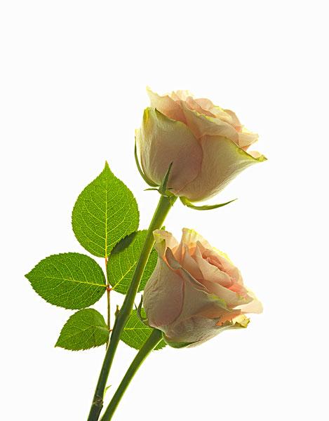钩针玫瑰树叶图解