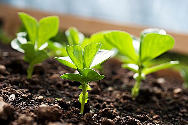 双子叶植物根的初生结构简图蚕豆