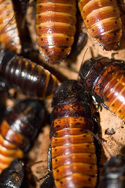 蟑螂-蟑螂图片下载-蟑螂图片大全-全景图片网