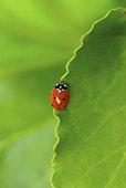 特写,瓢虫,叶子