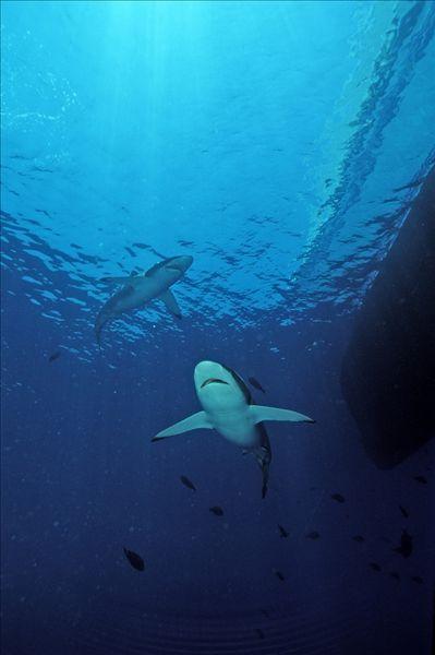 鲨鱼手机壁纸可爱