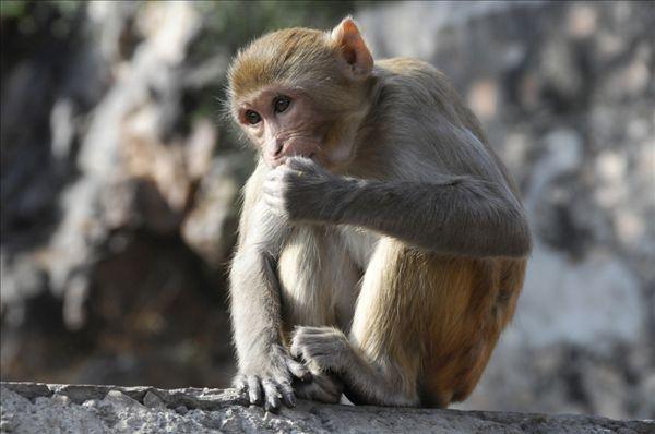 动物名片设计 猴子