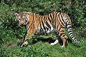 西伯利亚虎,东北虎,动物园,下萨克森,德国,欧洲