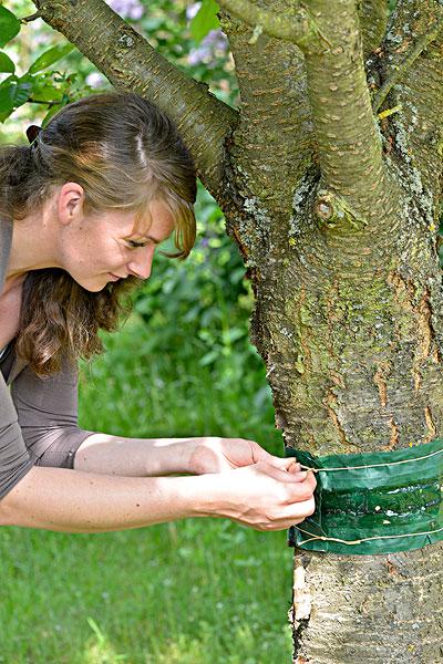 女人,系,樱桃树,毛虫,蚂蚁,害虫