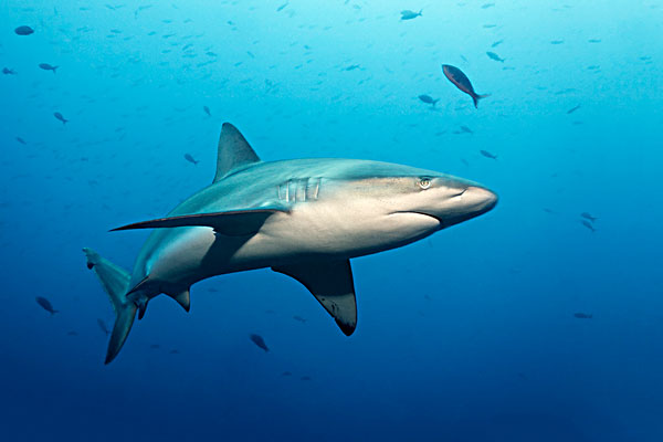 加拉帕戈斯,鲨鱼,狼,岛屿,加拉帕戈斯群岛,太平洋
