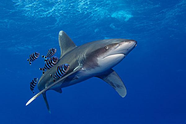 鲨鱼是保护动物