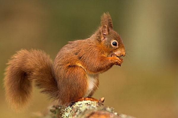 森林松鼠动物简笔画