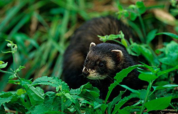 臭鼬,植被,俘获,原始森林