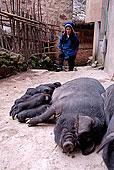 播种,吸吮,小猪,女人,哈尼族,种族,群体,乡村,靠近,心计,元阳,云南,共和国,亚洲