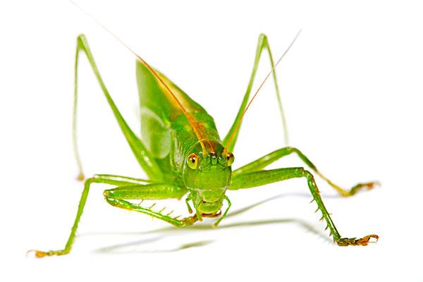 蟋蟀的叫声-蟋蟀的叫声图片下载-蟋蟀的叫声图片大全