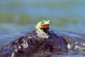 青蛙在水中