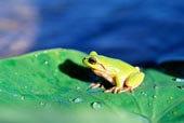 叶子上的青蛙