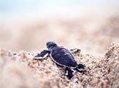 背影,小,海龟,沙滩